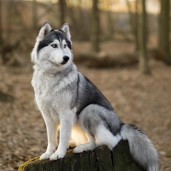 Image Result For Siberian Husky Dogs For Sale